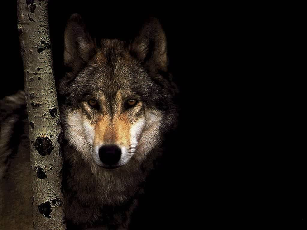 wild wolf pack wallpaper - photo #33