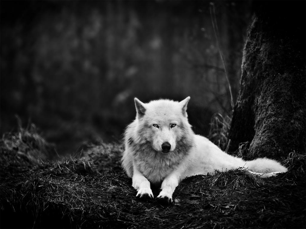 Wild Wolf Wallpaper #7