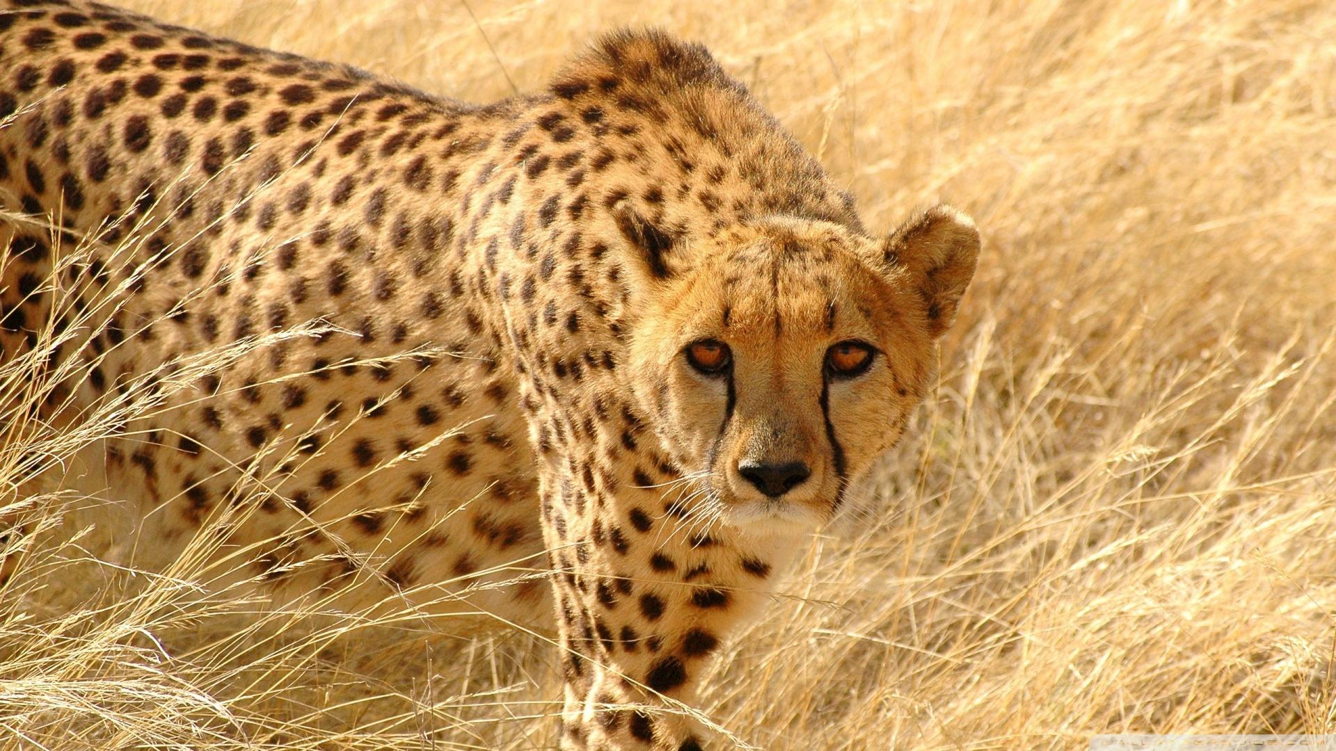 Cheetah Wildlife Backgrounds for Desktop