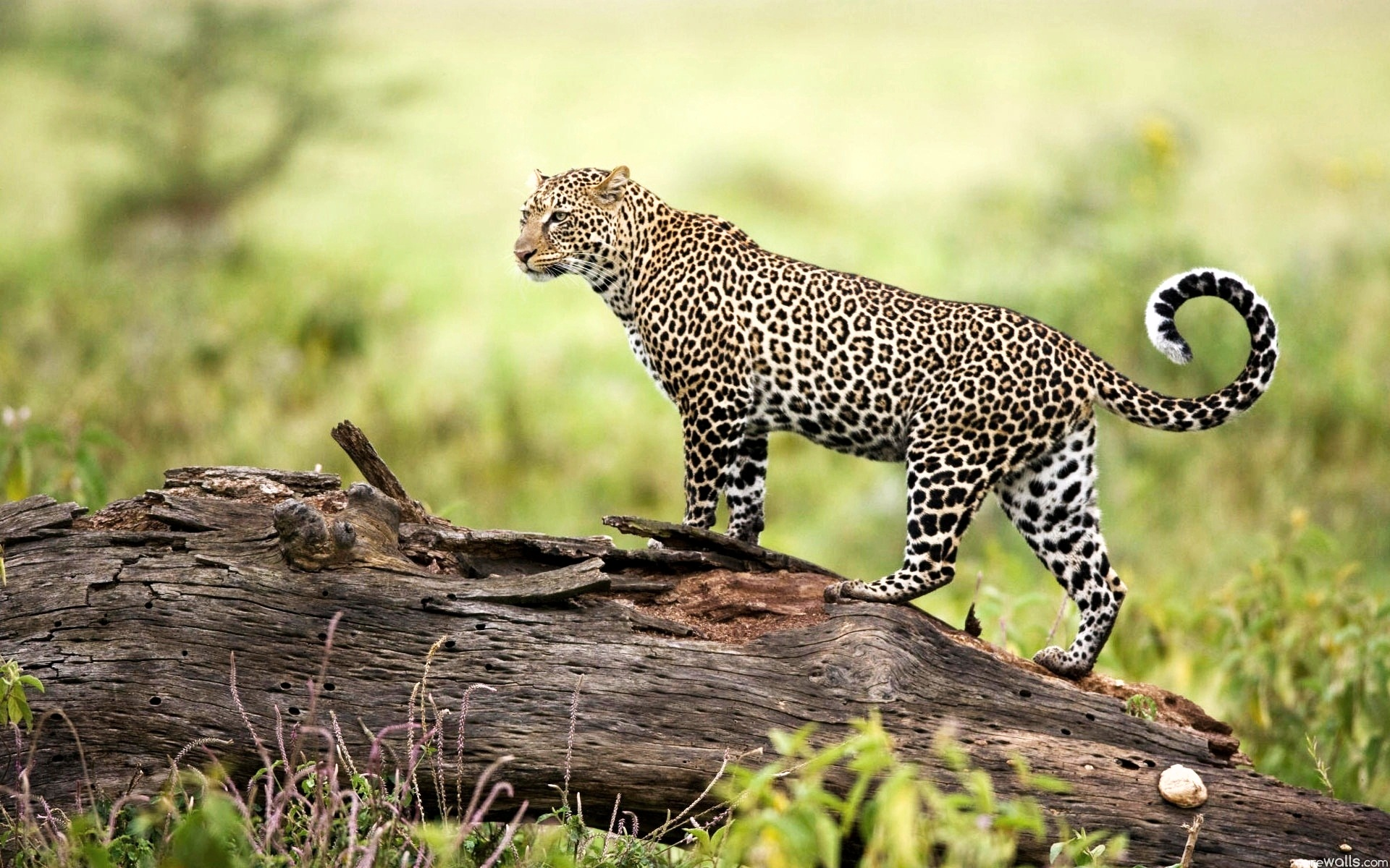 Leopard Wildlife
