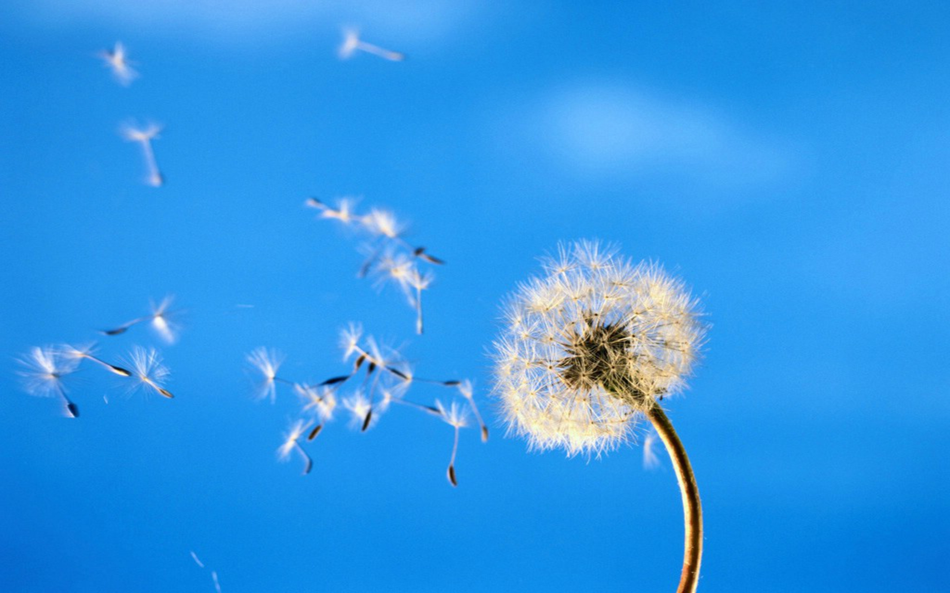 DOWNLOAD: Dandelion in wind.jpg free picture 2560 x 1600
