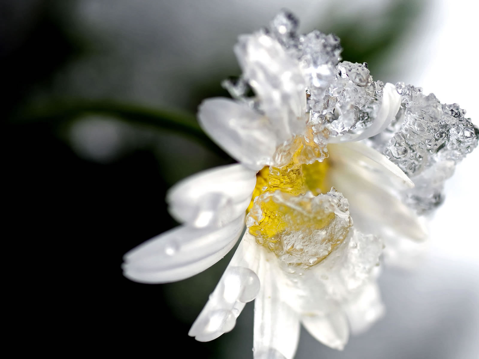 Winter Flower Wallpaper 1600x1200 66782