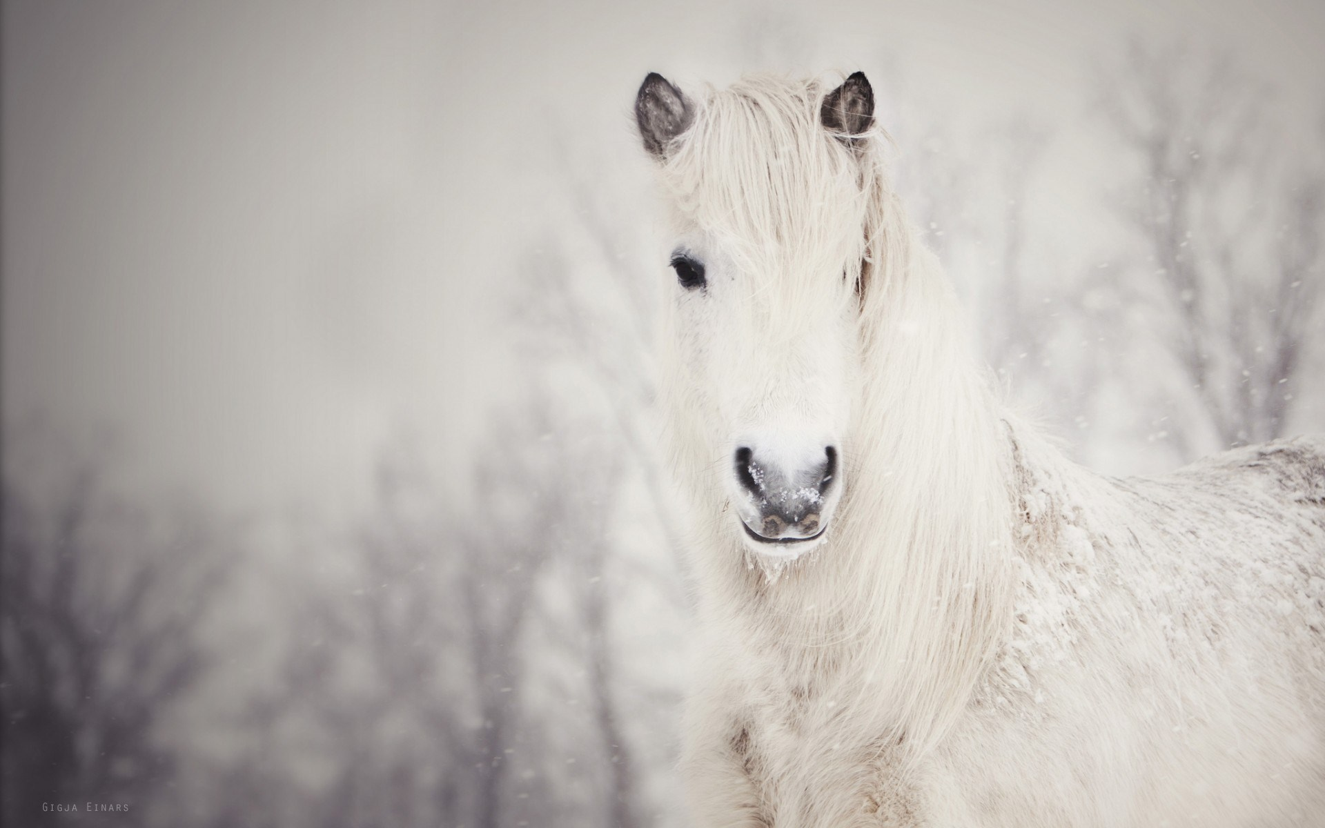 White Horse Winter Snowfall Nature HD Wallpaper