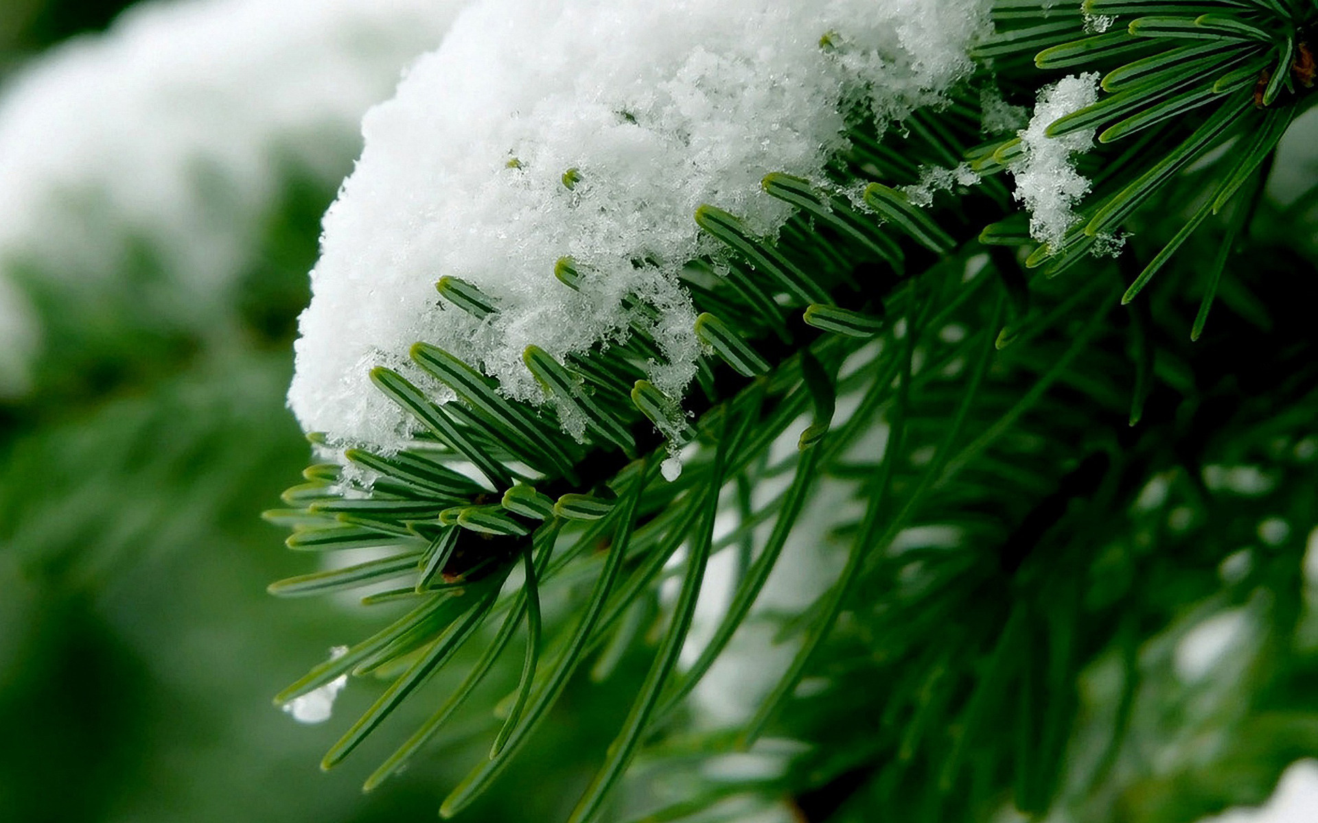 Winter Spruce Wallpaper