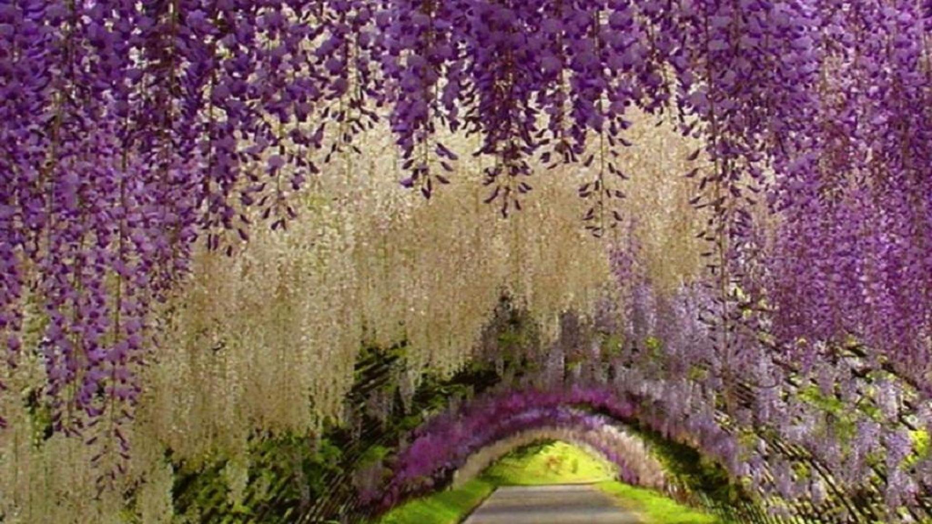 Widescreen resolutions (16:10): 1280x800 1440x900 1680x1050 1920x1200. Normal resolutions: 1024x768 1280x1024. Wallpaper Tags: wisteria beautiful tunnel ...