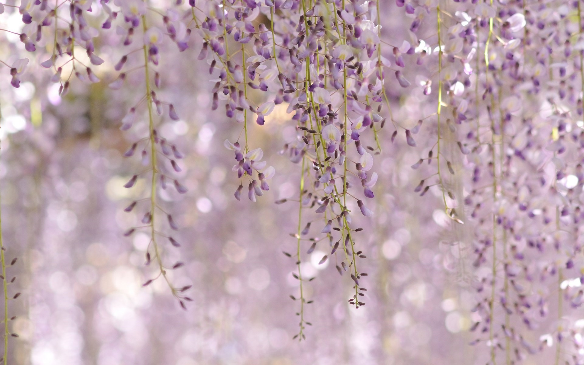 Wisteria Floribunda Royal Purple Flowers