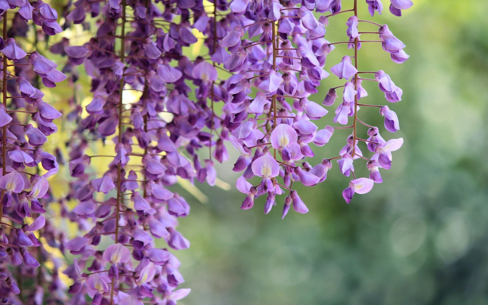 Wisteria Purple Flowers Macro