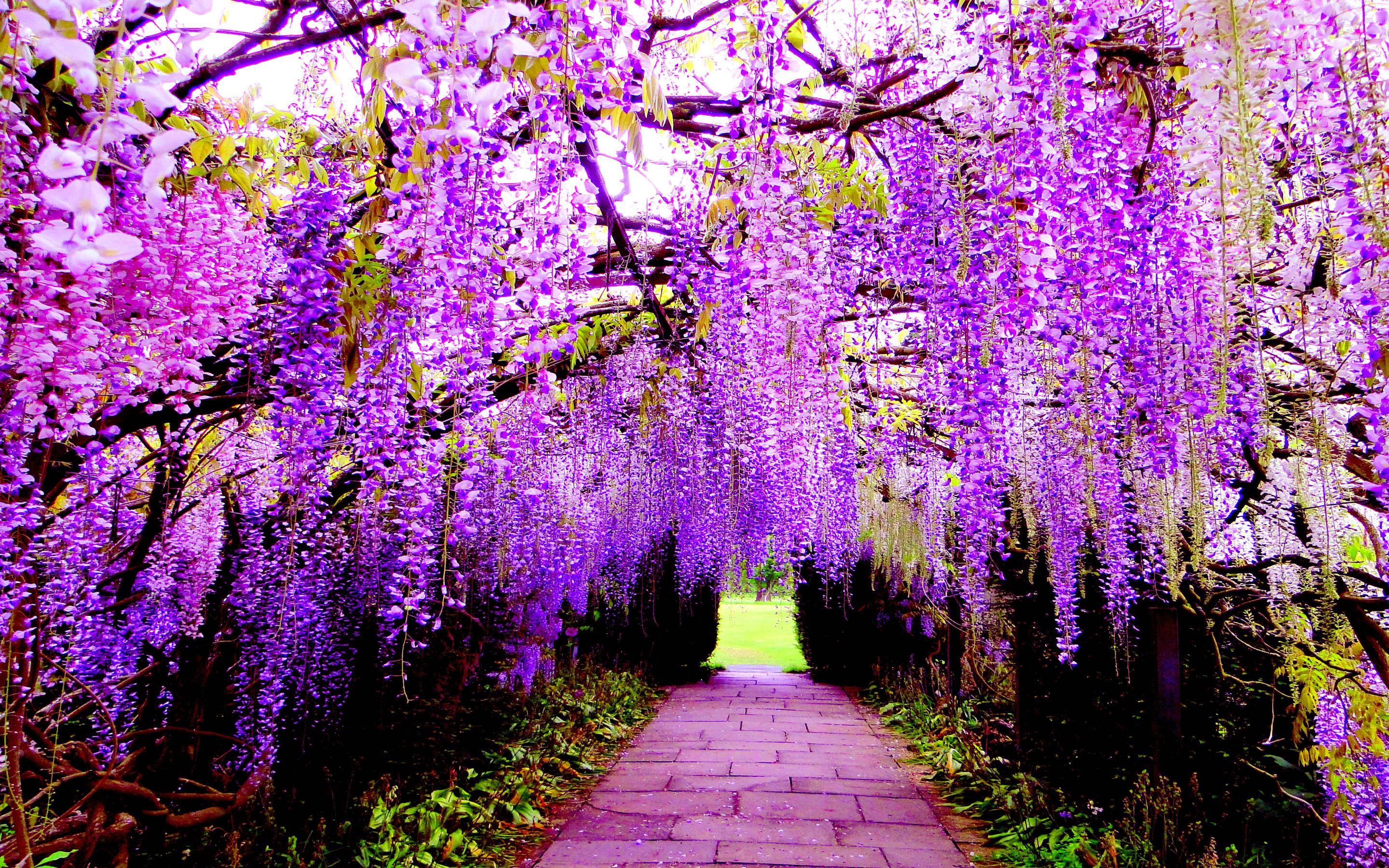 These wallpapers are high definition and available in wide range of sizes and resolutions. Download Wisteria Flower Tunnel HD Wallpapers absolutely free for ...