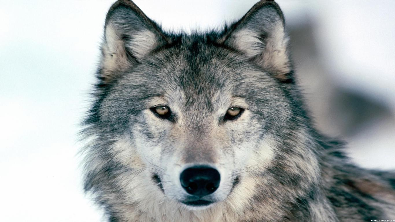 Wolf Up Close Wallpaper 39801 1920x1080 px