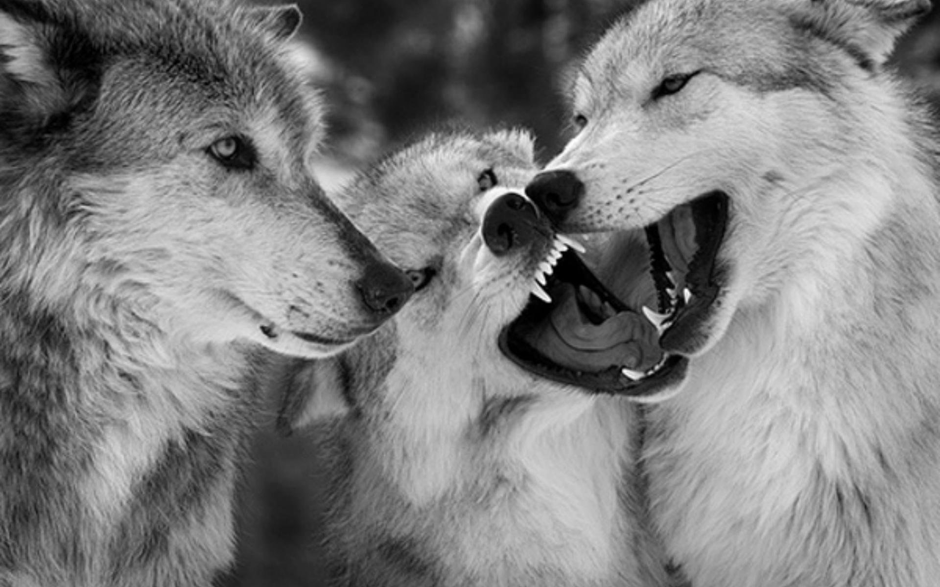 Wolf Wallpaper; Wolf Wallpaper; Wolf Wallpaper ...