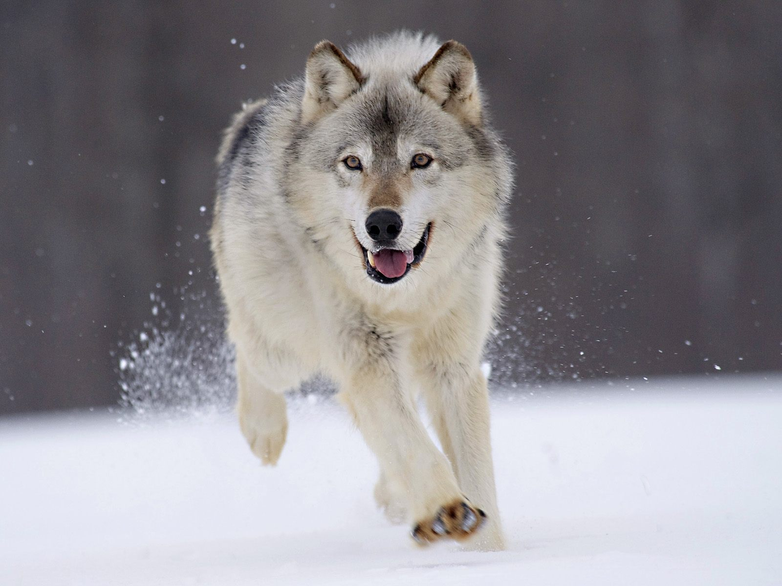 HD Wallpaper | Background ID:99447. 1600x1200 Animal Wolf