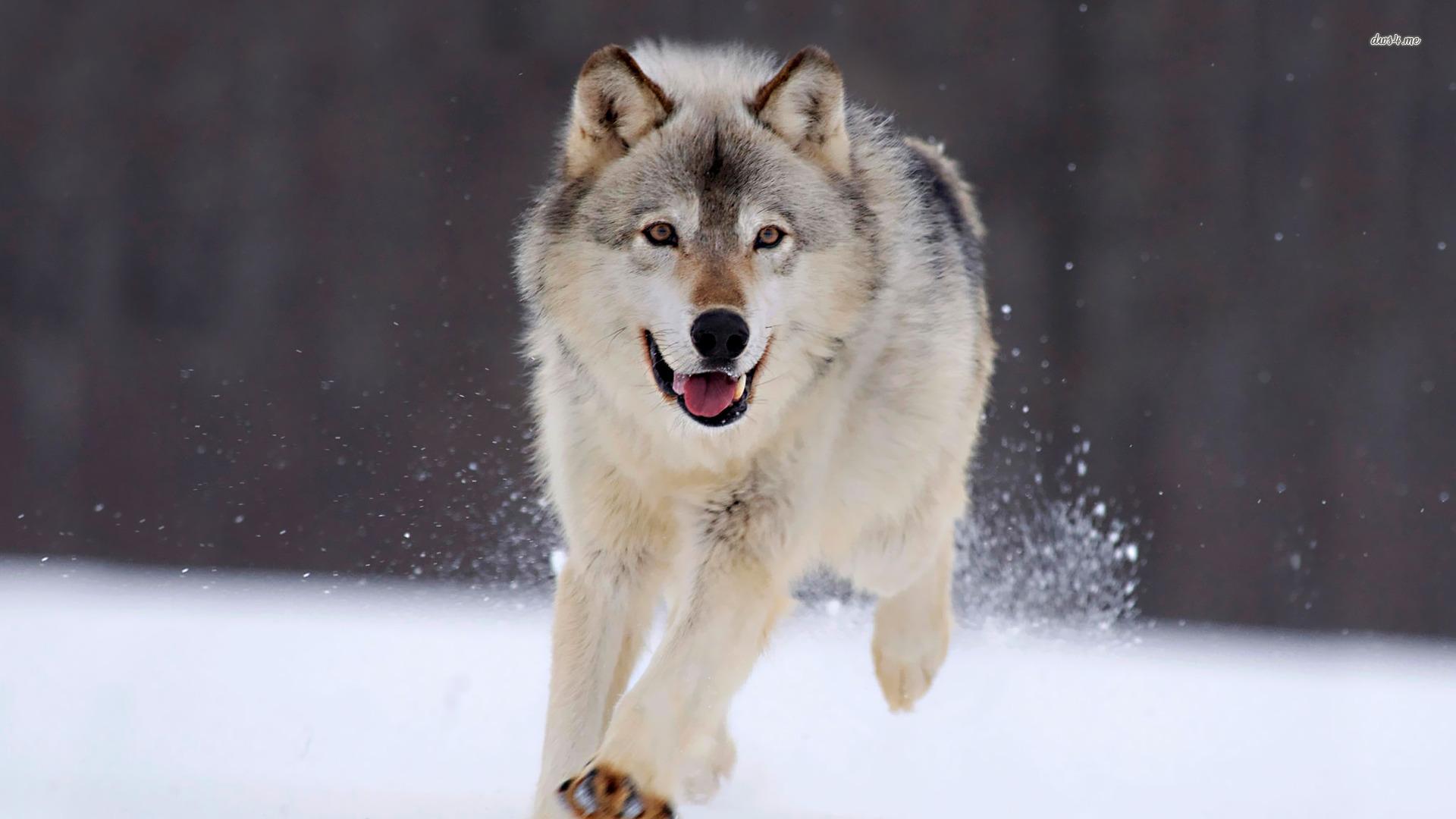 wolf wallpaper Cool Desktop HD Resolution 220 Backgrounds