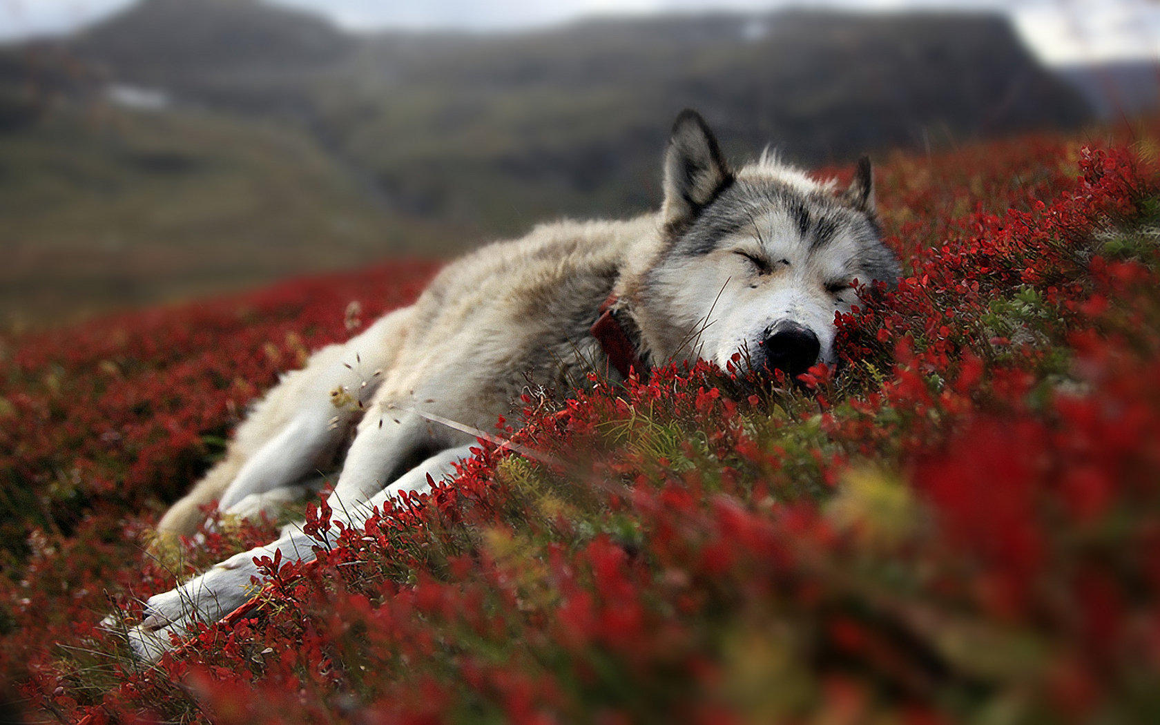 Cute Wolf Wallpaper