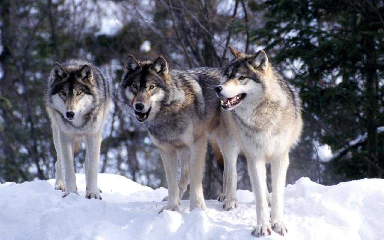 Wolves Wallpaper 1280x800 1523