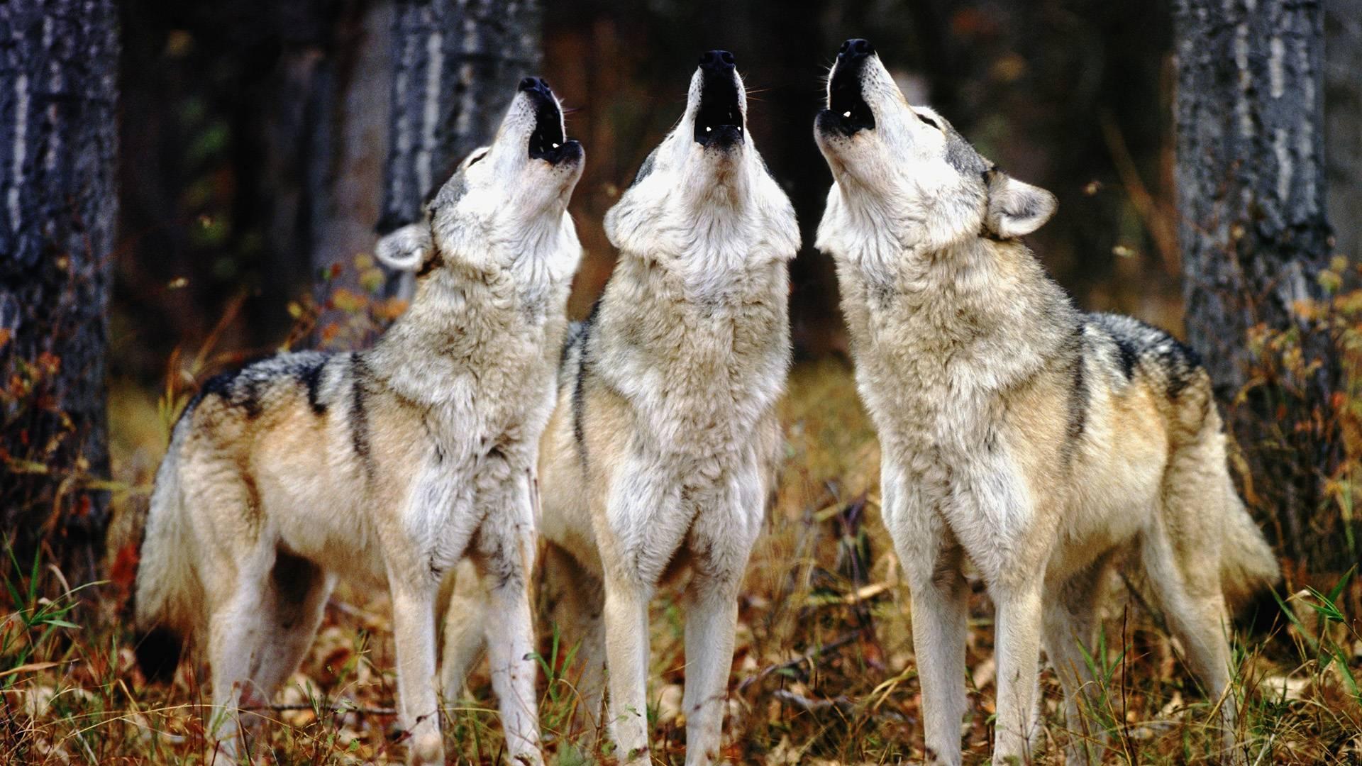 ... Wolves; Wolves; Wolves; Wolves