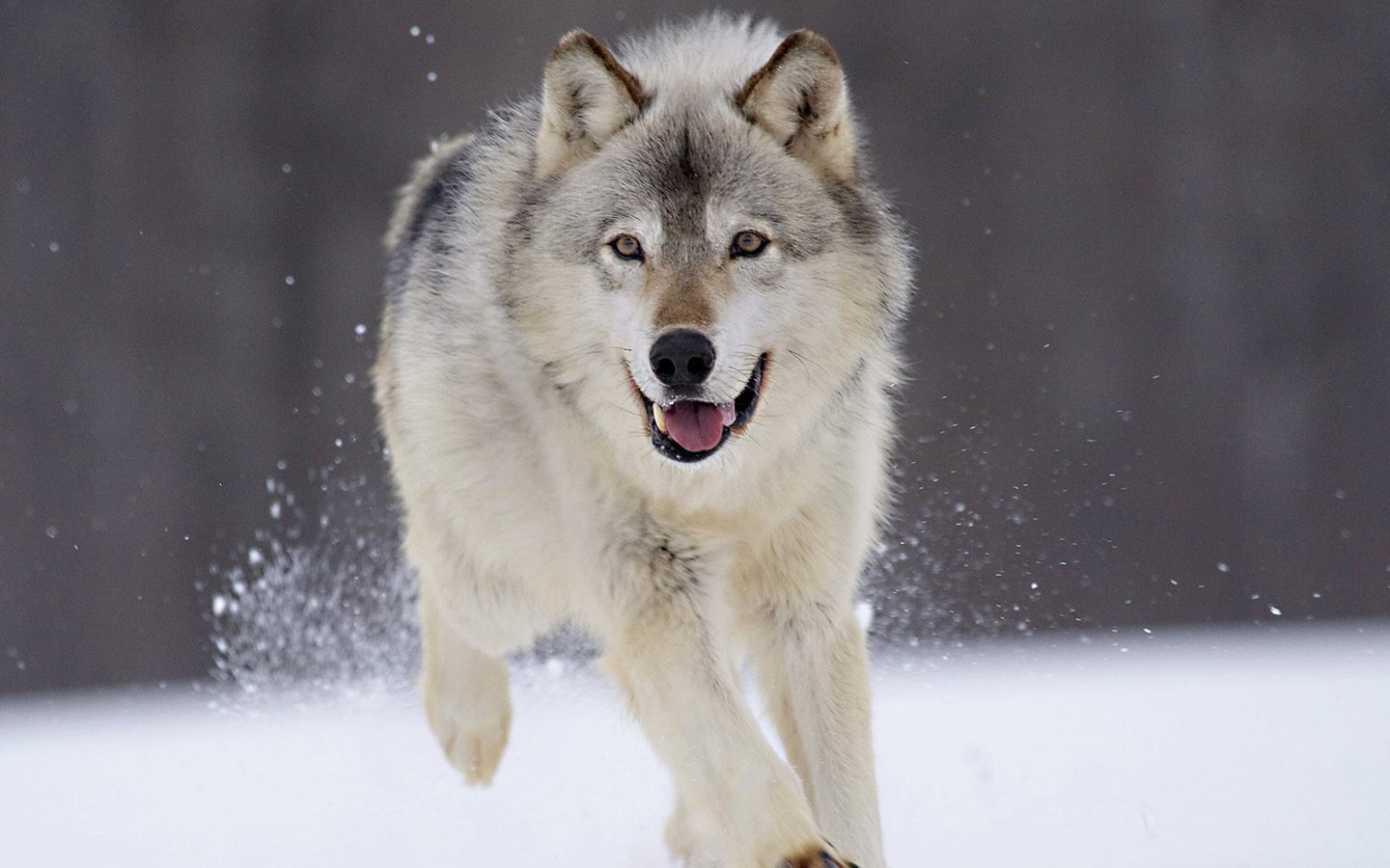 Wolves are commonly found in various places throughout the Northern Hemisphere. But, due to the destruction of their habitat, their population continues to ...