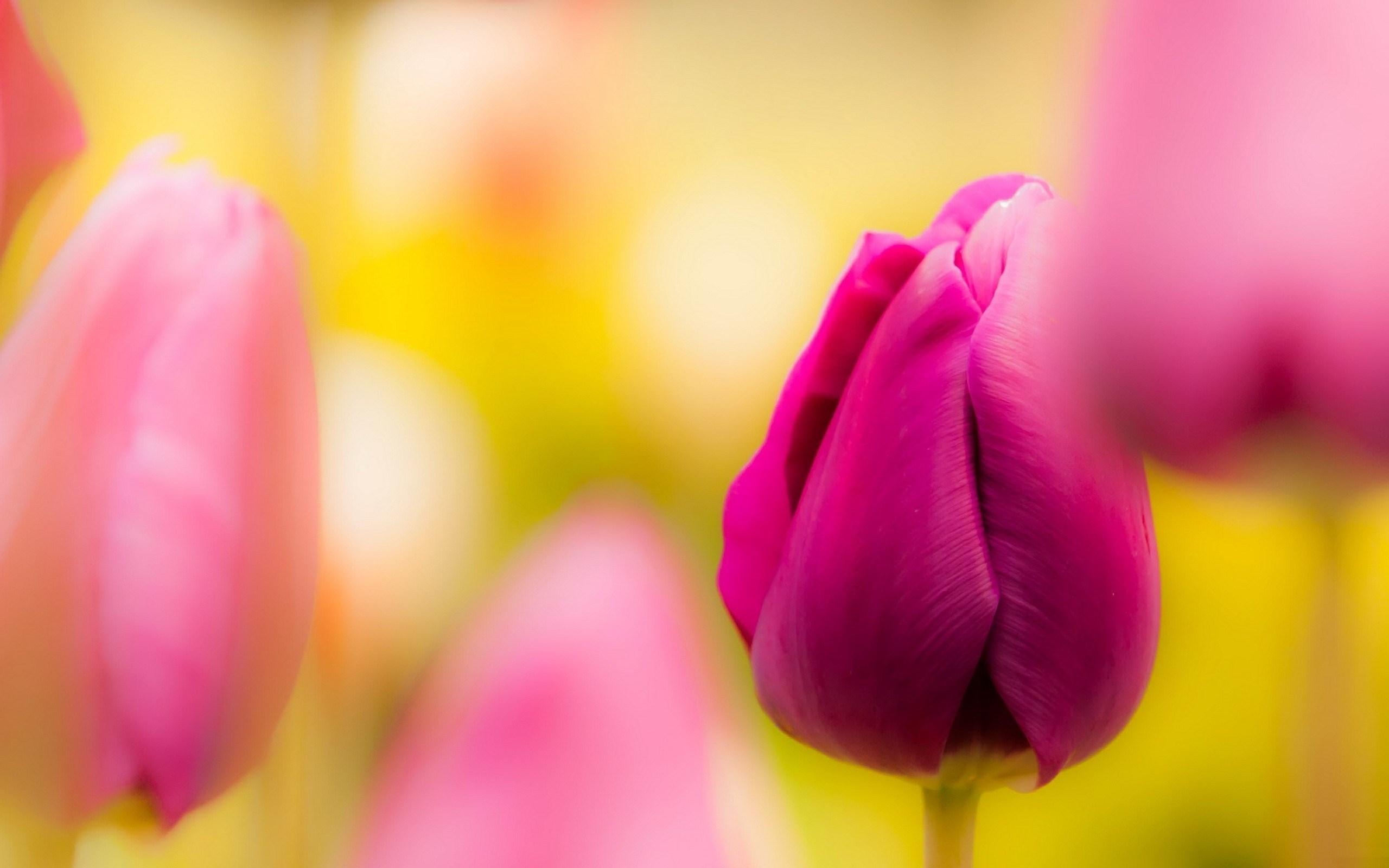 Wonderful Pink Tulips Blur Photo