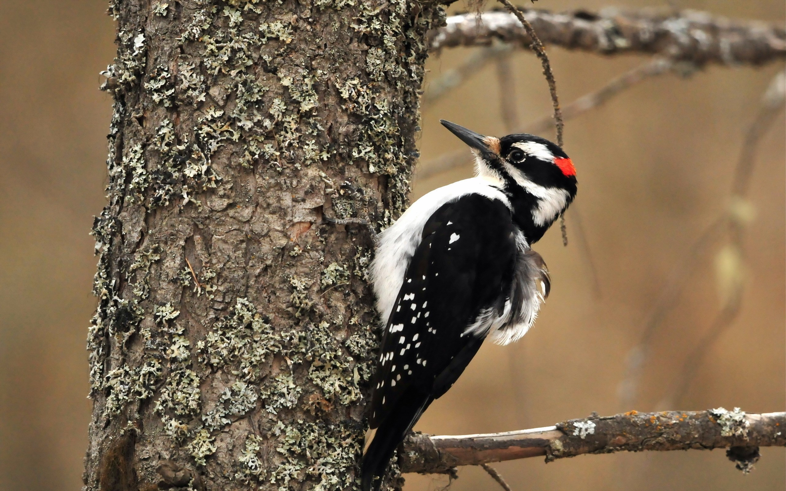 Woodpecker Background