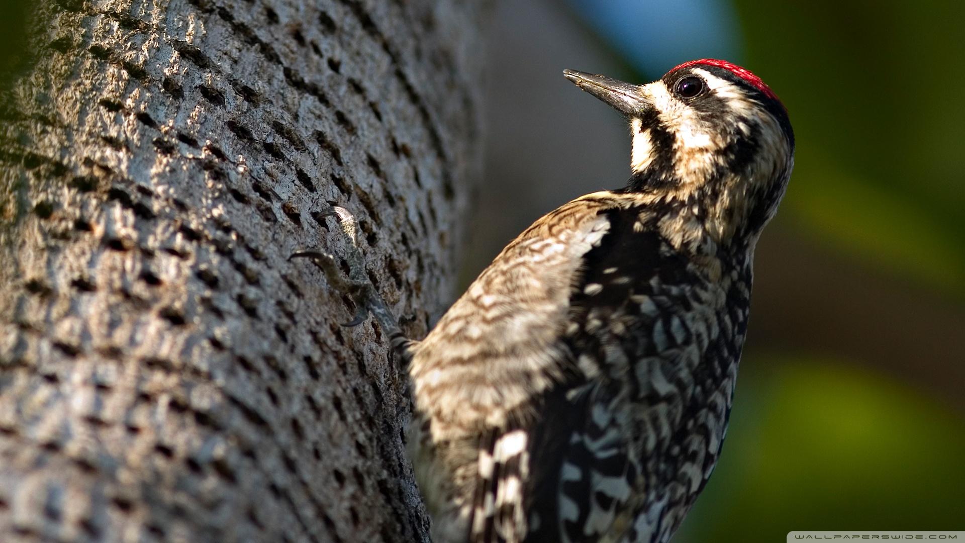 Woodpecker Wallpaper