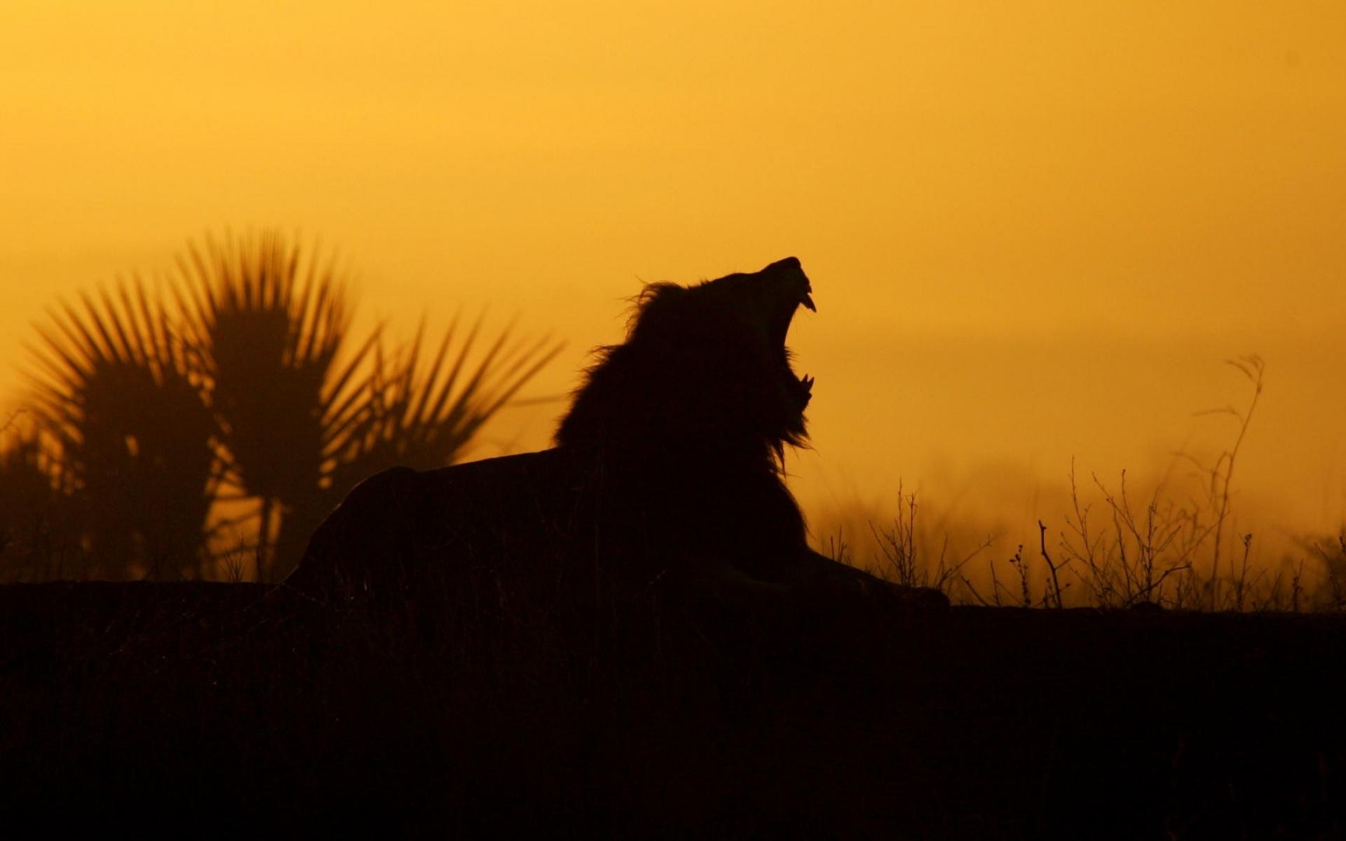 Yawning Lion Sunrise