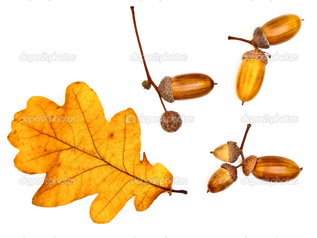 Autumn oak yellow leaf and acorns over the white background — Photo by S_Razvodovskij