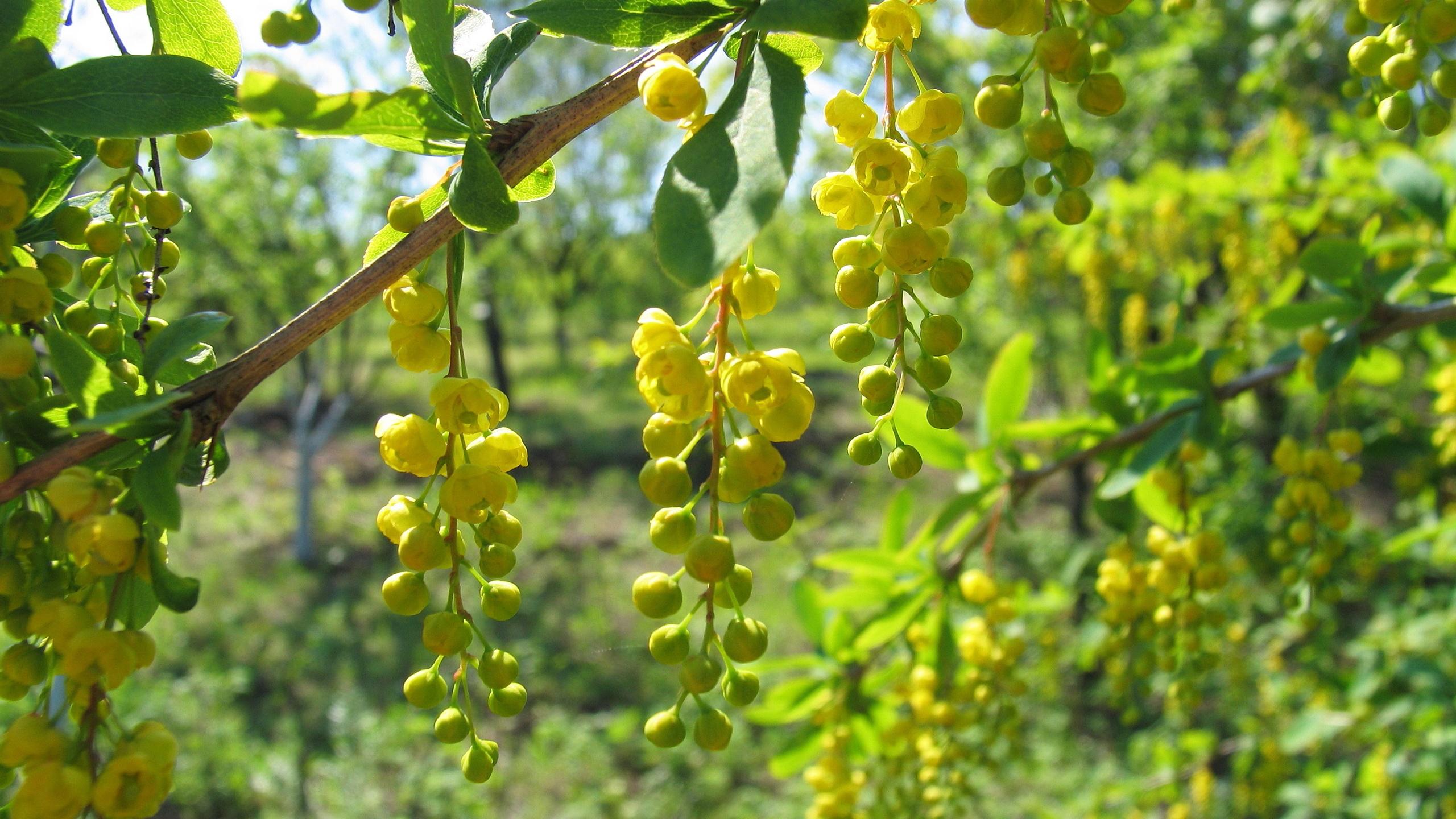 Yellow berberis