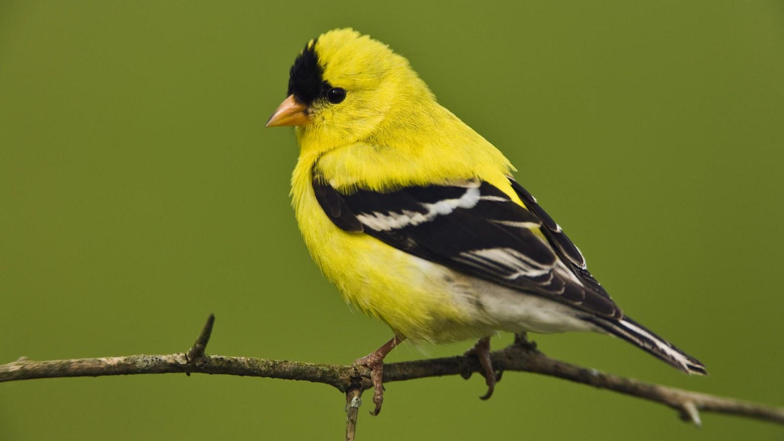 Yellow Bird Pictures
