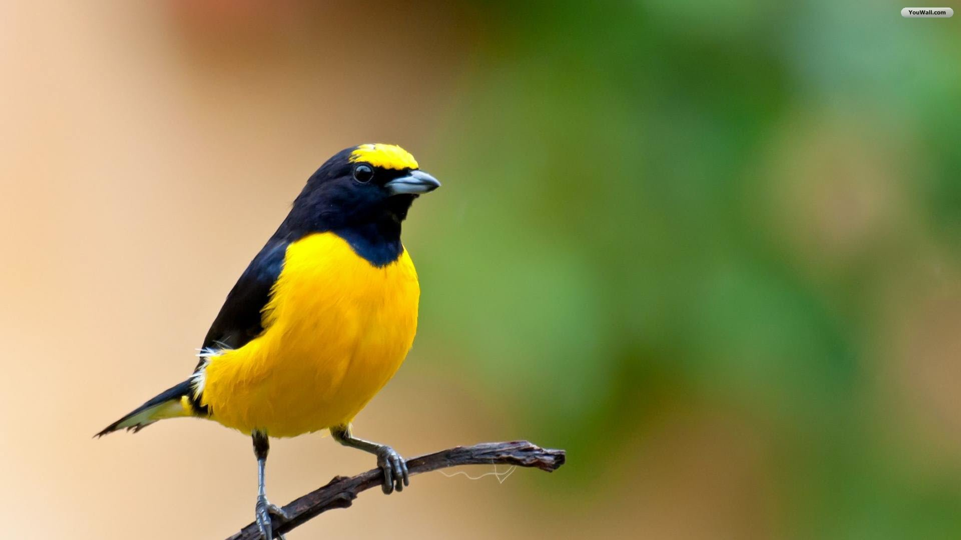 Yellow Bird Wallpapers