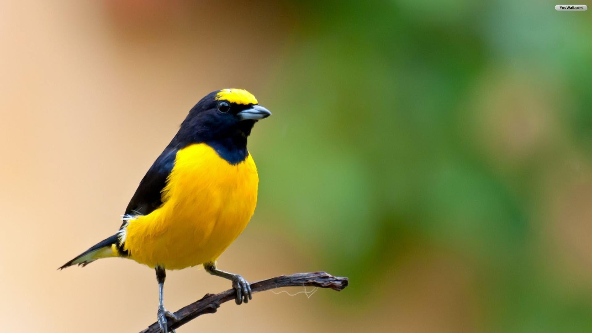 as desktop wallpaper. as desktop wallpaper gorgeous yellow bird ...