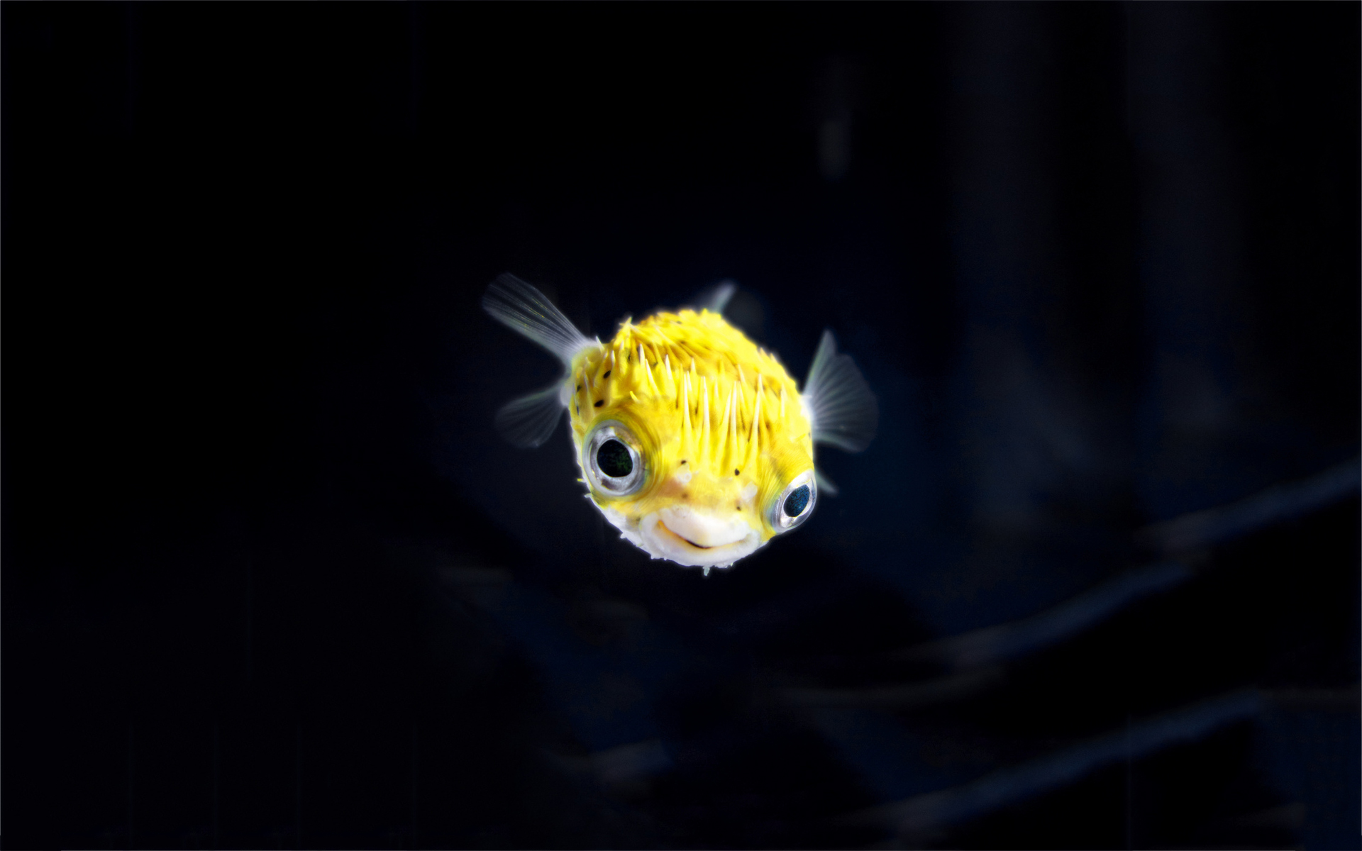 Yellow blowfish