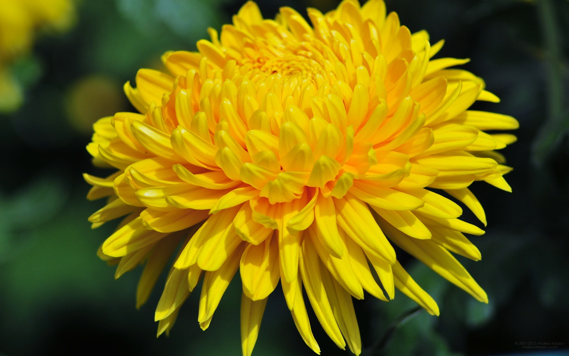 Yellow Chrysanthemum wallpaper | 1920x1200 | #23750 Yellow Chrysanthemum Flower