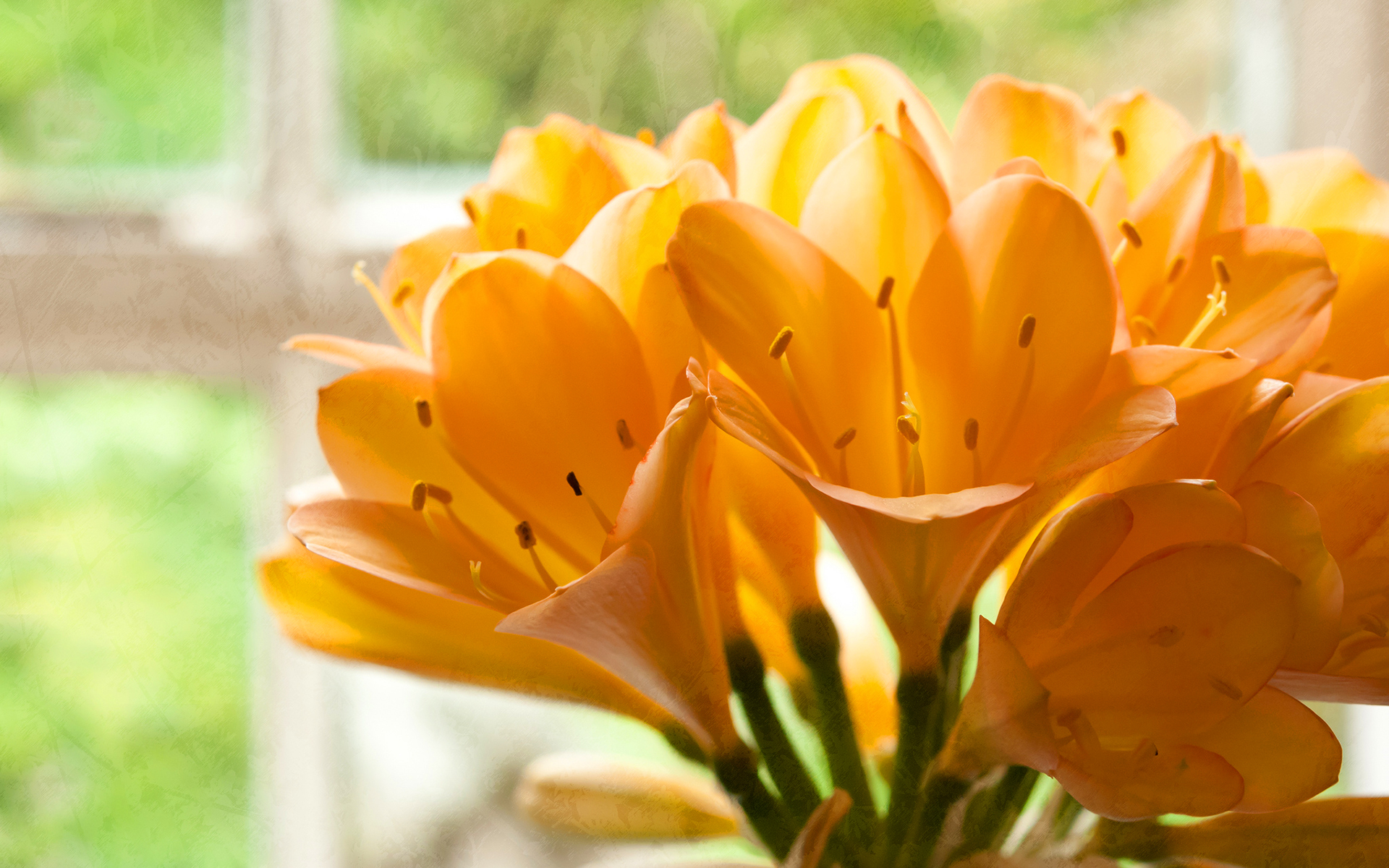 Yellow clivias