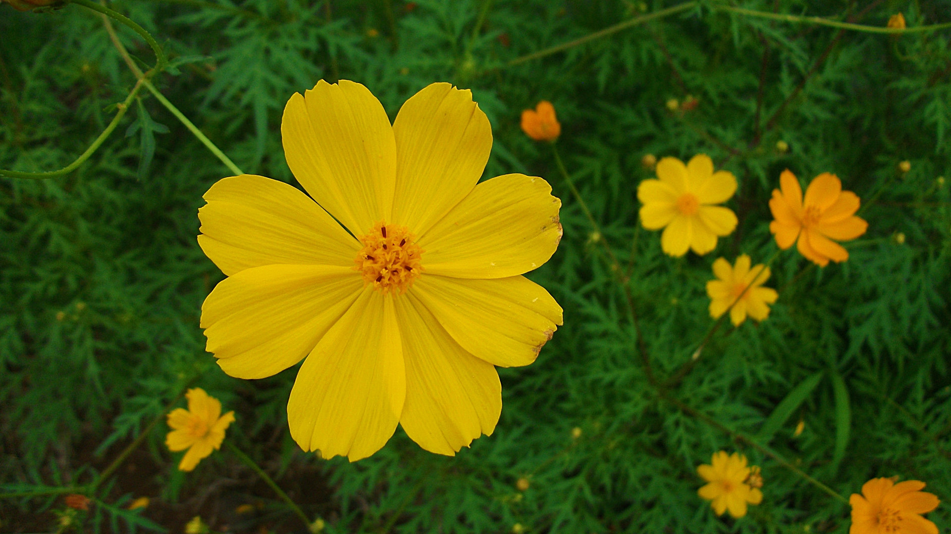 Yellow Cosmos Flowers