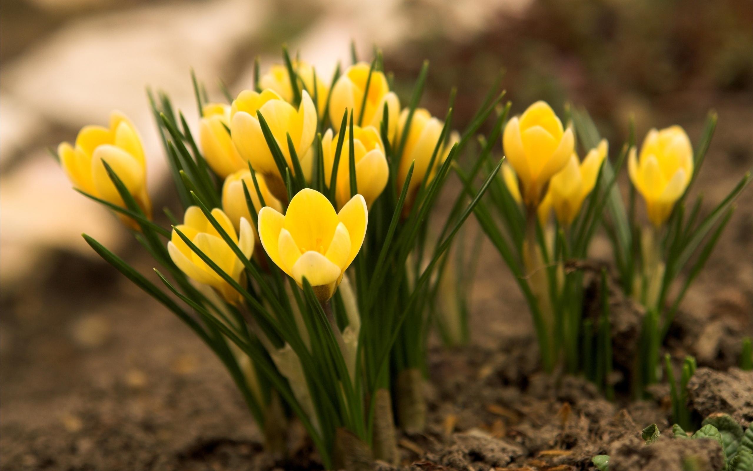 Yellow Crocus Flowers Photo