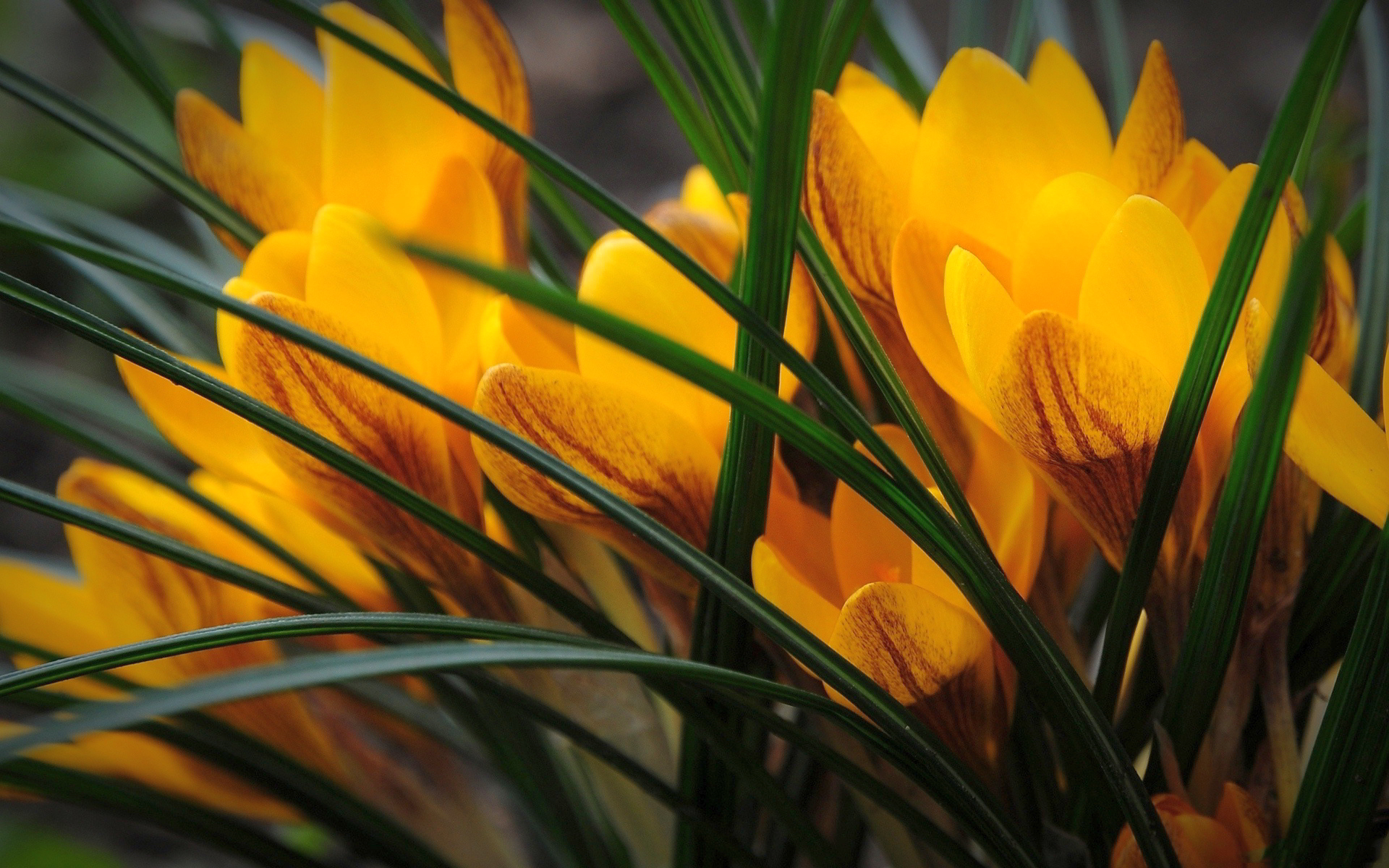 Yellow crocus nature