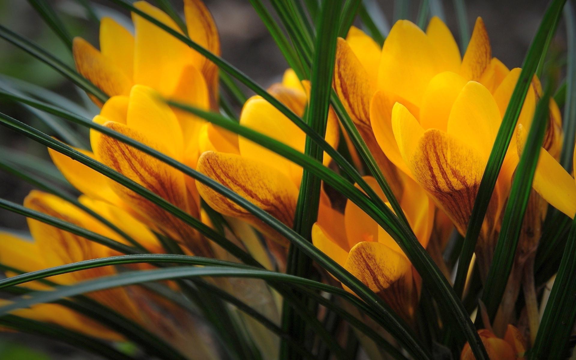 Yellow crocus nature