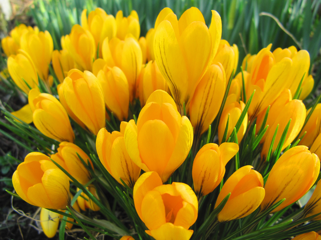 ... Yellow Crocuses | by Mrs.Snowman