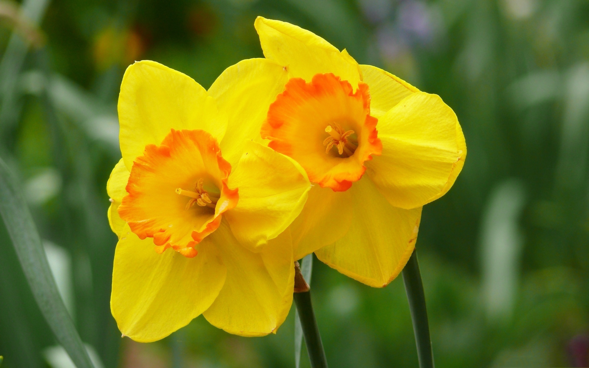 Yellow daffodils hd