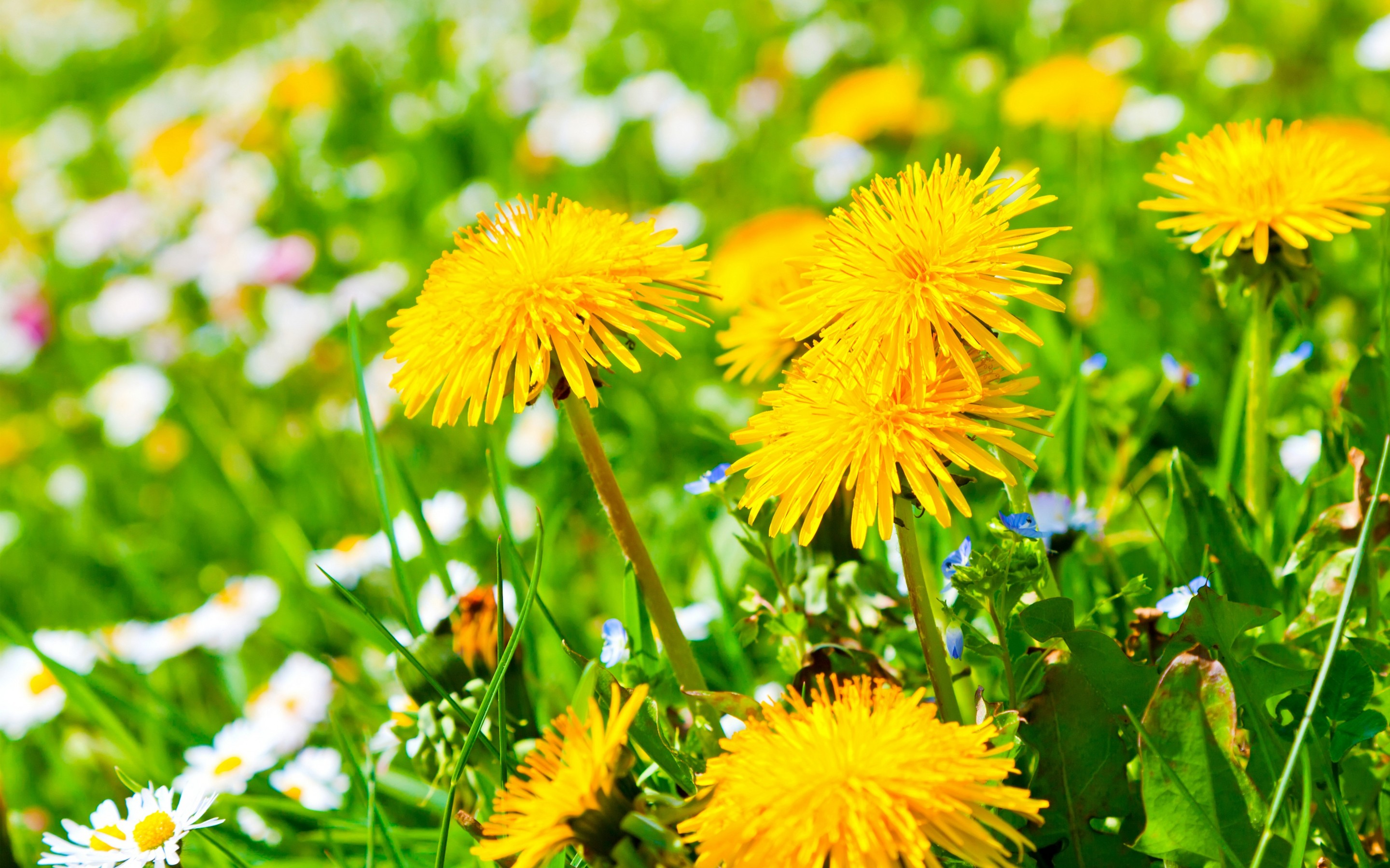 Yellow Dandelion · Yellow Dandelion Wallpaper ...