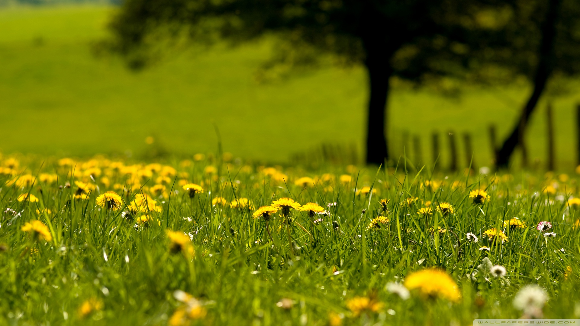 Yellow Dandelion Wallpaper