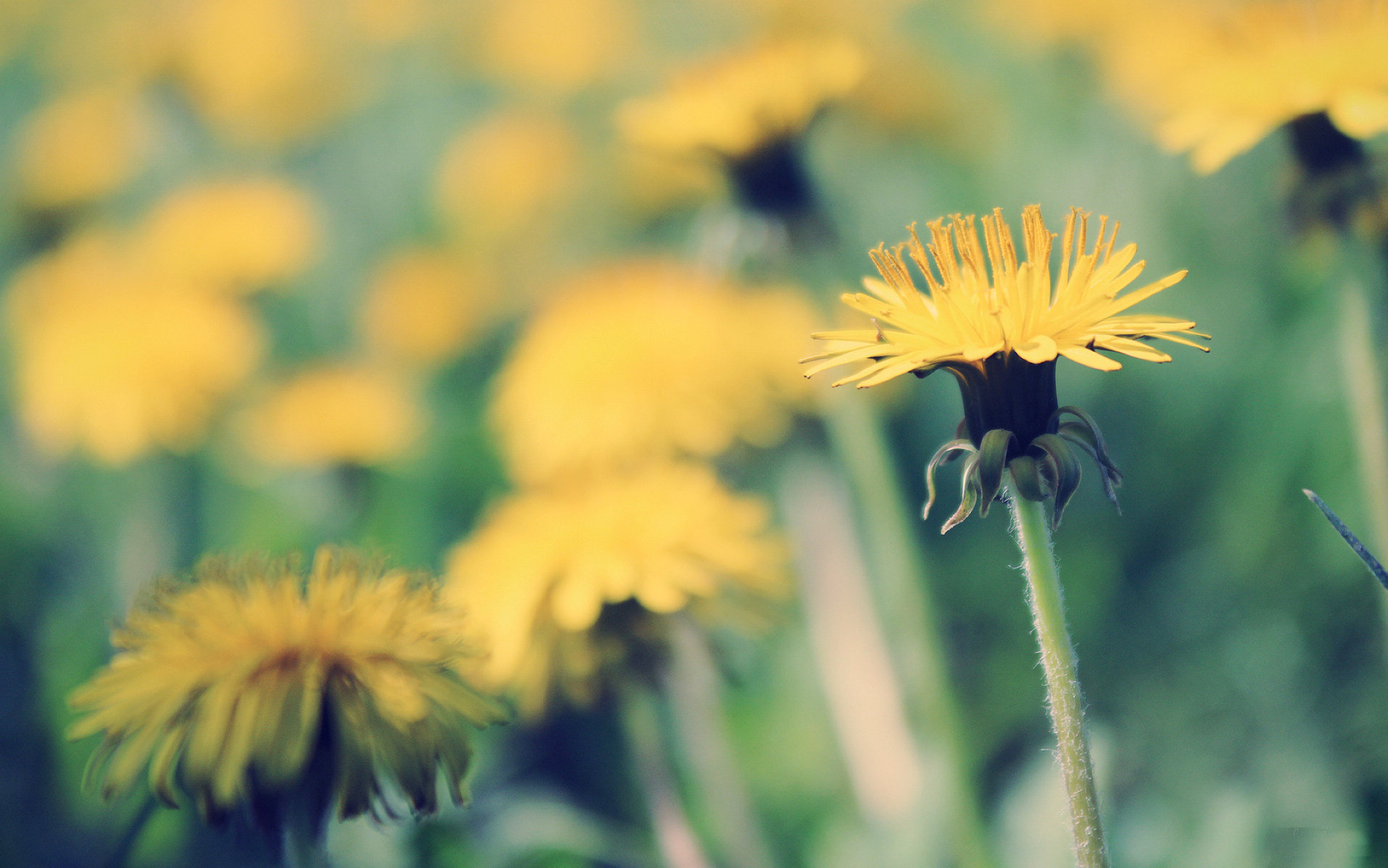 Yellow Dandelion Wallpapers 13873
