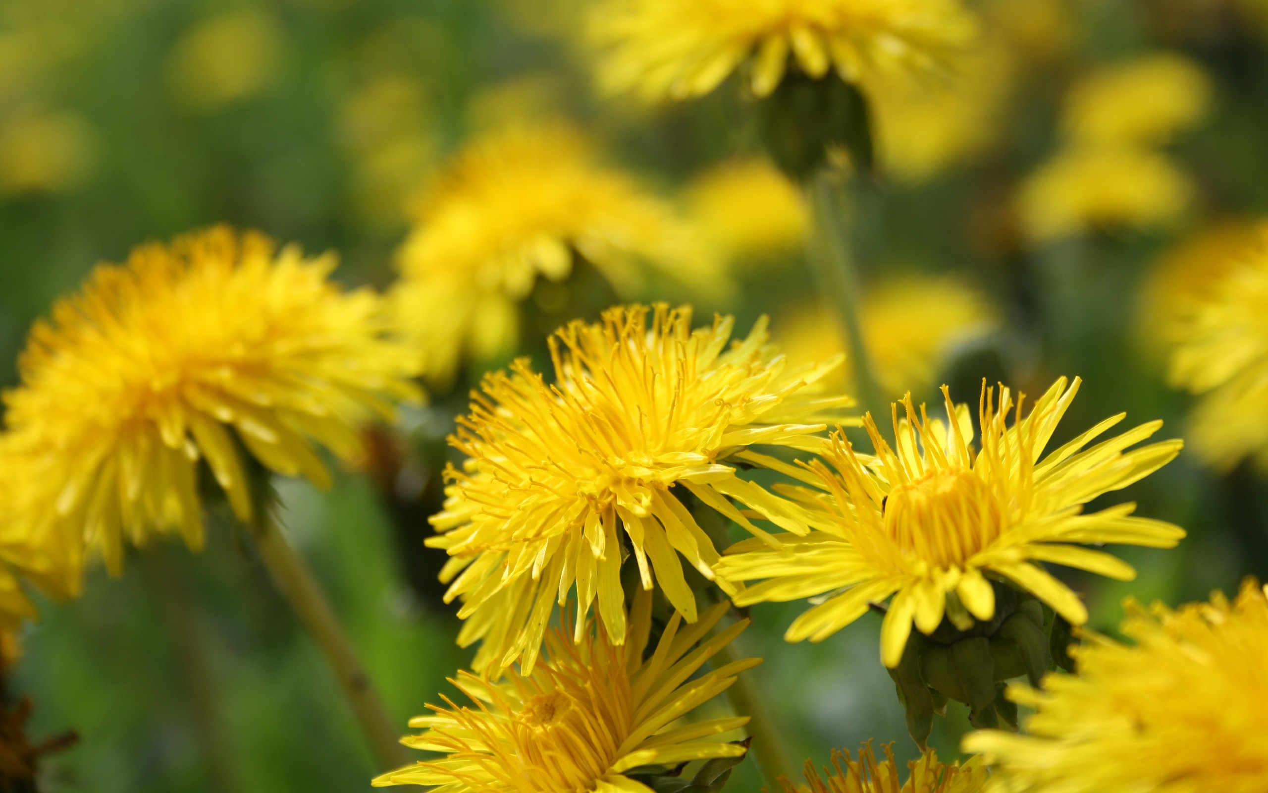 ... Yellow Dandelion Wallpaper ...