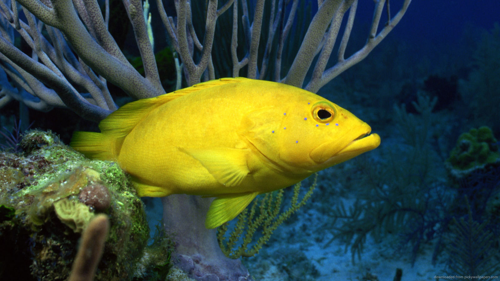 ... Yellow Fish for 1600x900