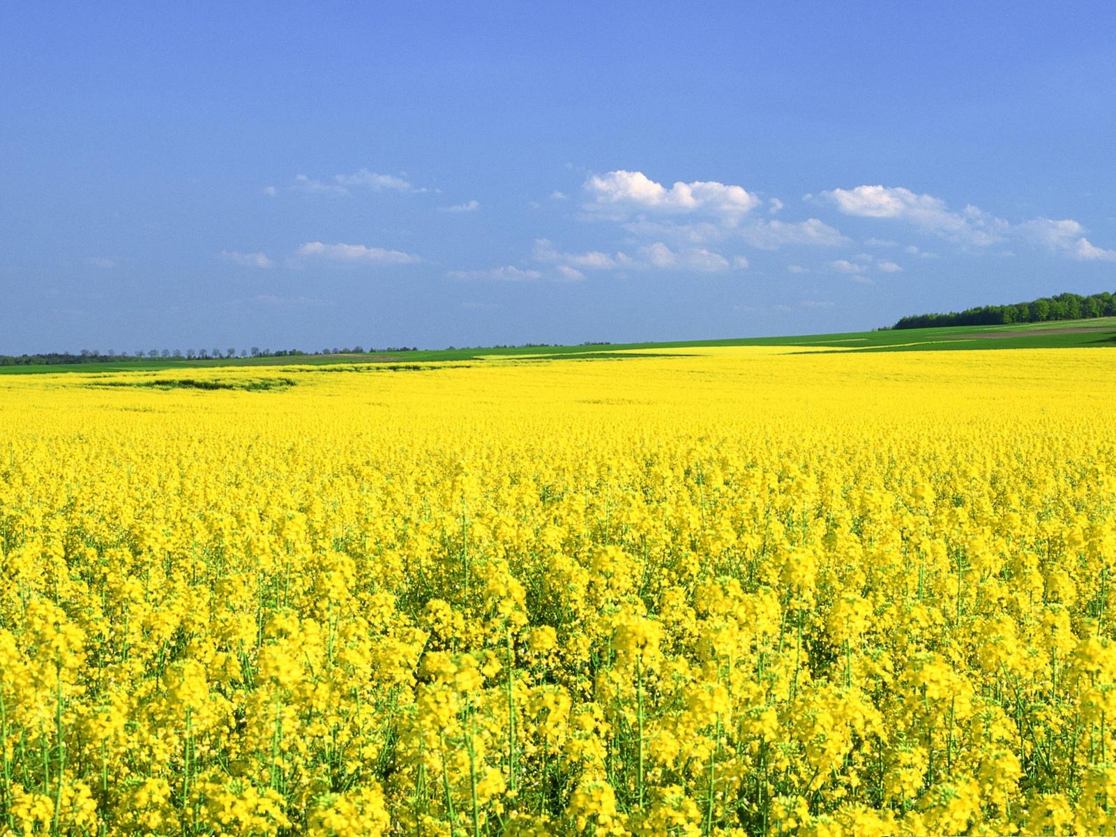 Yellow Flower Field Wallpaper
