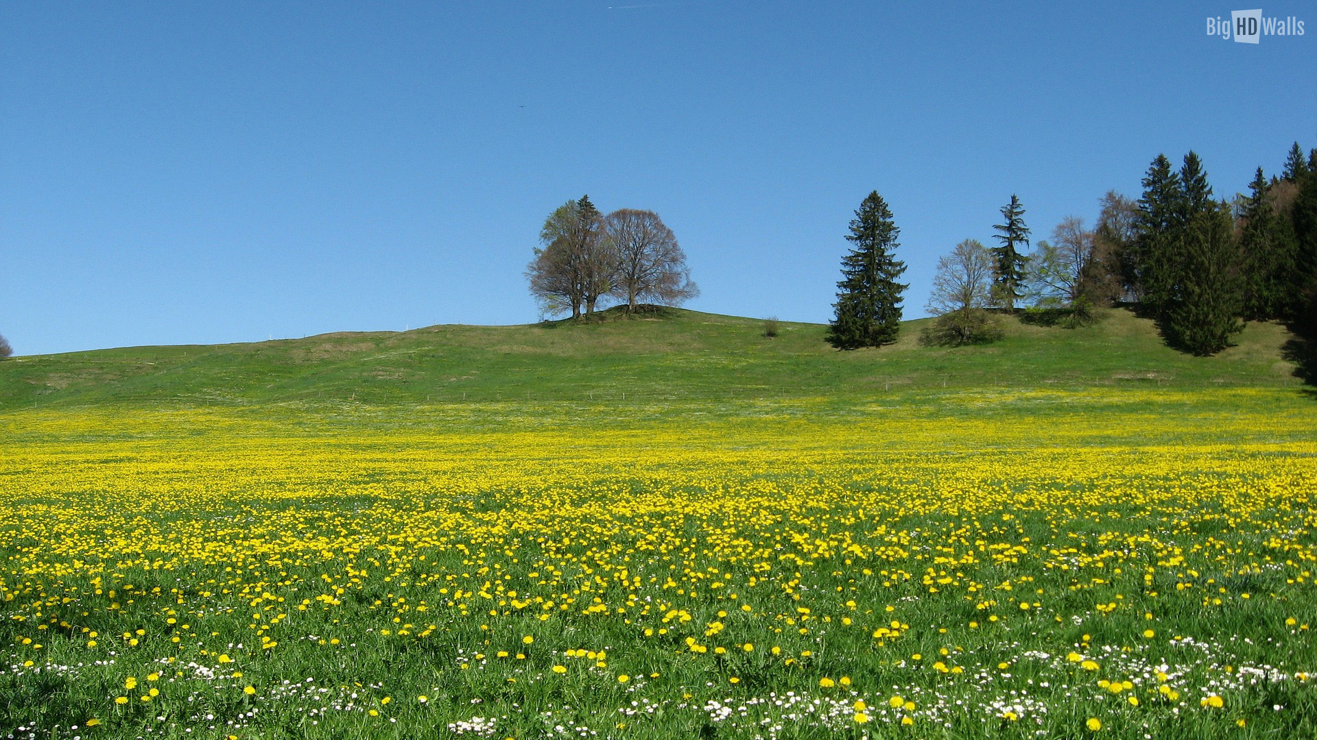 ... Meadow with Yellow Flowers HD Wallpaper