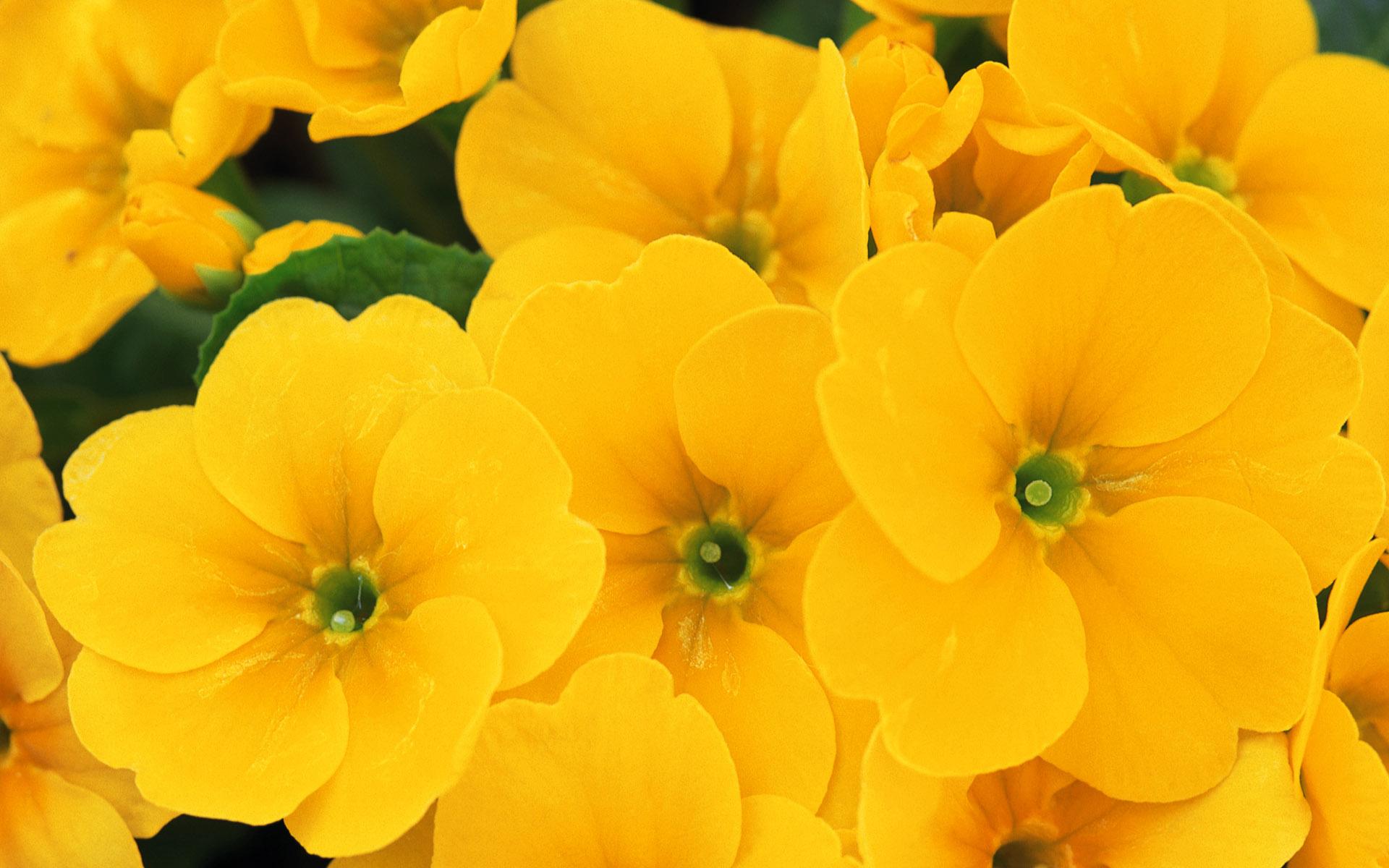 Yellow Flower Wallpaper 1920x1200 42591