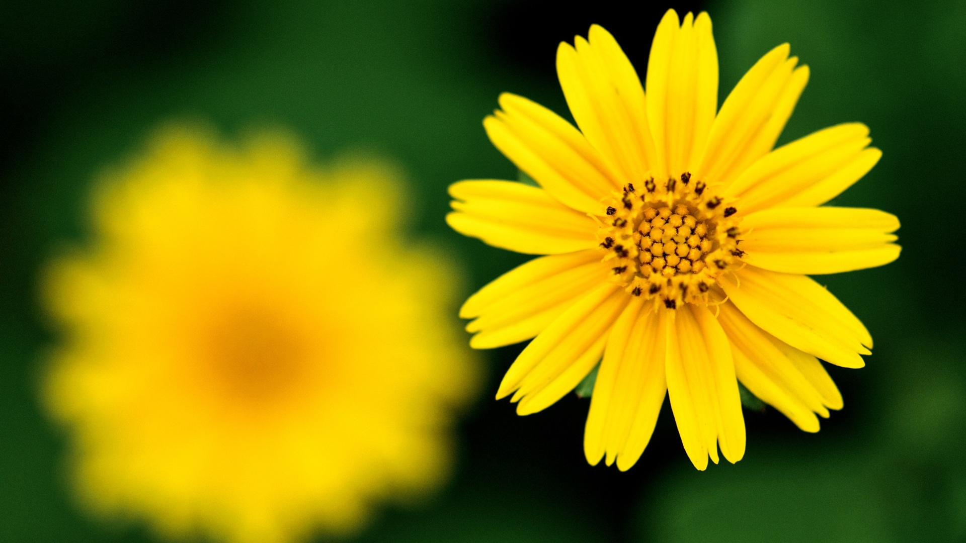 Wallpapers for Gt Yellow Flower Wallpaper 1920x1080px