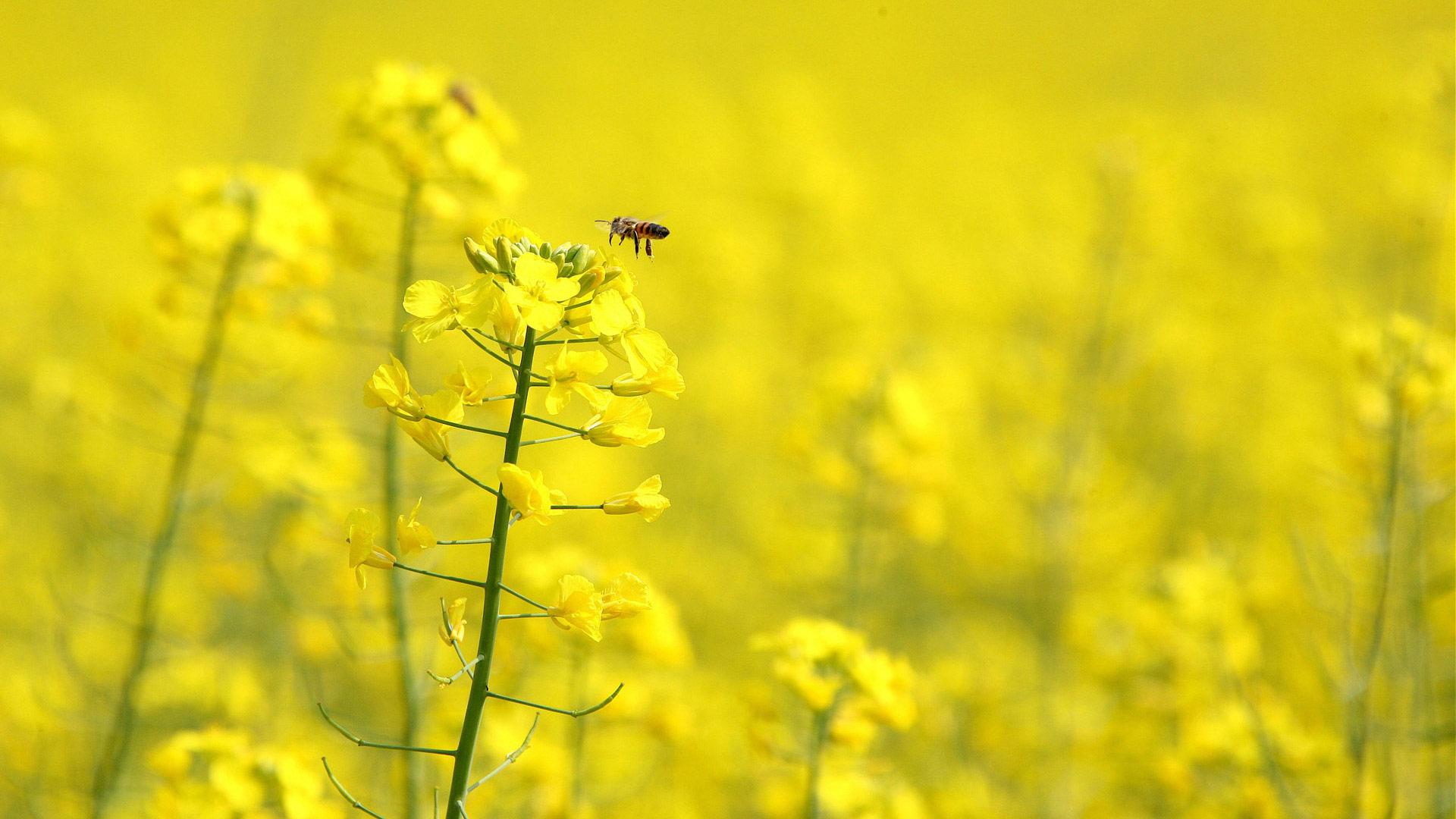 Yellow Flower Wallpaper HD