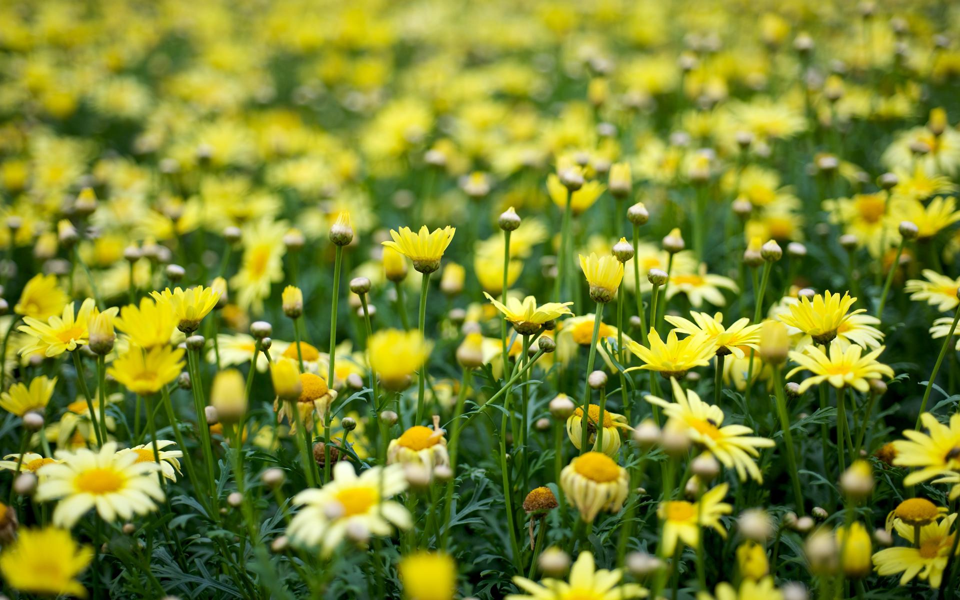 ... Yellow Flowers Wallpaper ...