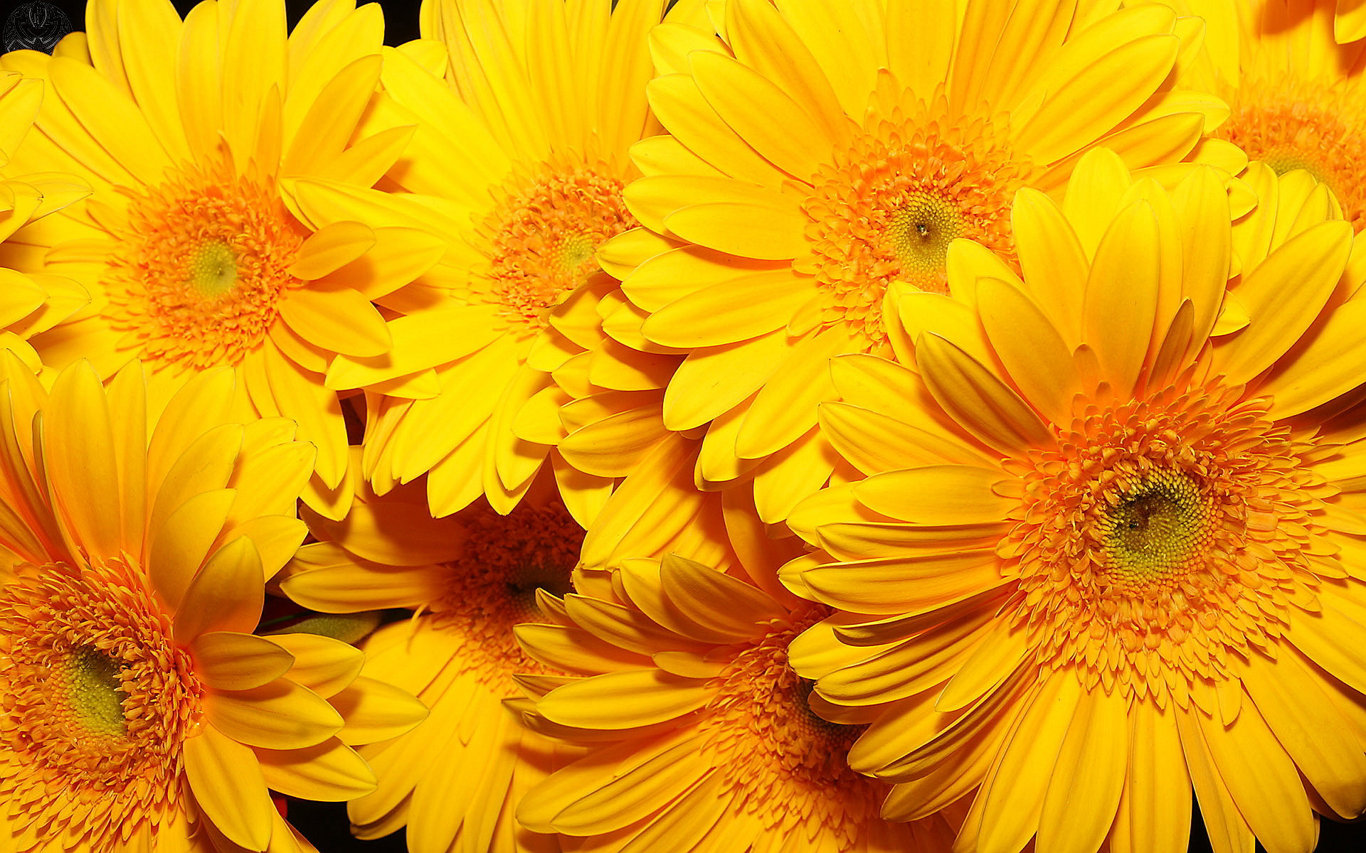 Yellow flowers hd